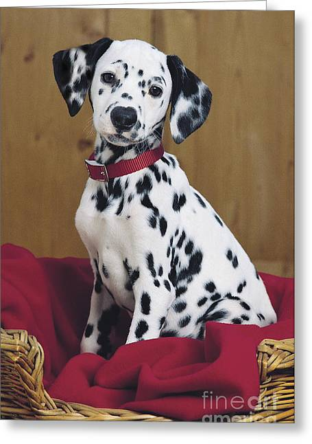 Photo . Portrait Greeting Cards - Dalmatian in Basket A108 Greeting Card by Greg Cuddiford