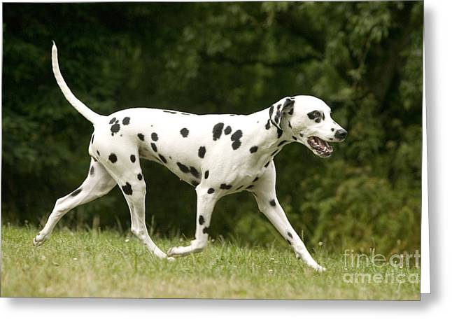 Dog Trots Greeting Cards - Dalmatian Running Greeting Card by Jean-Michel Labat
