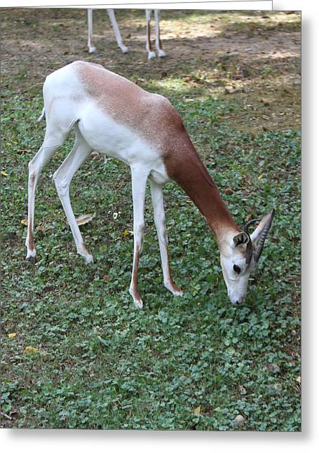Dama Greeting Cards - Dama Gazelle - National Zoo - 01131 Greeting Card by DC Photographer
