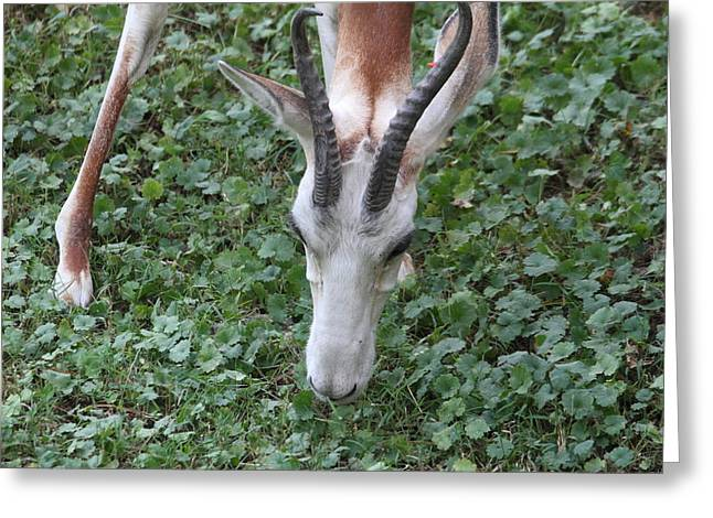 Dama Gazelle - National Zoo - 01133 Greeting Card by DC Photographer