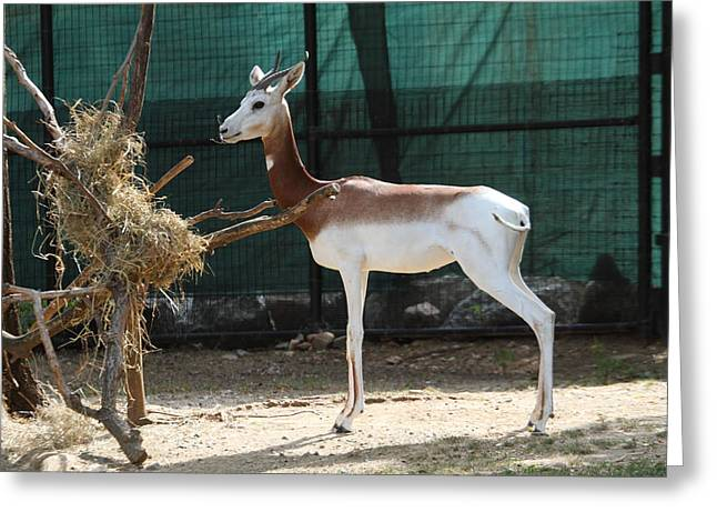 Dama Greeting Cards - Dama Gazelle - National Zoo - 01135 Greeting Card by DC Photographer