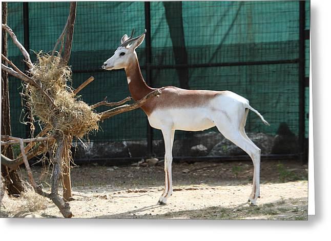 Dama Greeting Cards - Dama Gazelle - National Zoo - 01136 Greeting Card by DC Photographer