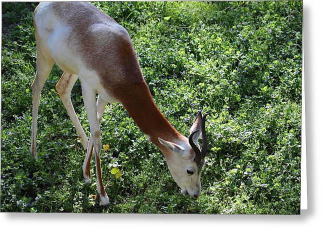 African Photographs Greeting Cards - Dama Gazelle - National Zoo - 01137 Greeting Card by DC Photographer
