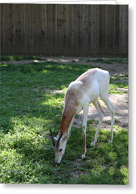 Dama Greeting Cards - Dama Gazelle - National Zoo - 01139 Greeting Card by DC Photographer