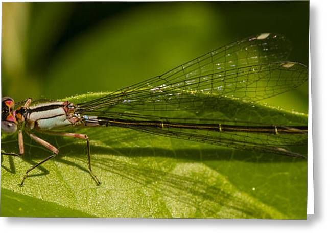 Damsel Fly Greeting Cards - Damsel 3 Greeting Card by Jean Noren