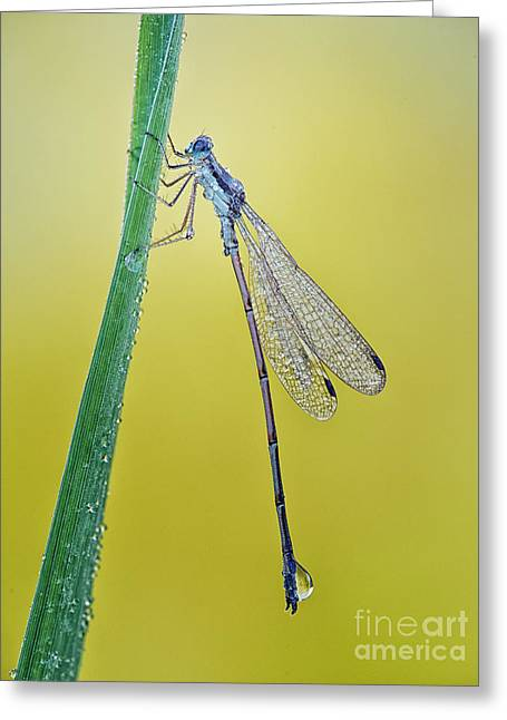 Damsel Fly Greeting Cards - Damsel in the morning Greeting Card by Todd Bielby