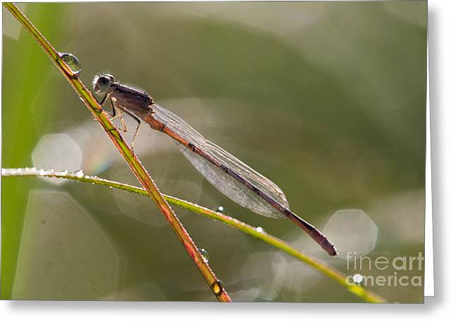 Damsel Fly Greeting Cards - Damsel with a drop Greeting Card by Todd Bielby