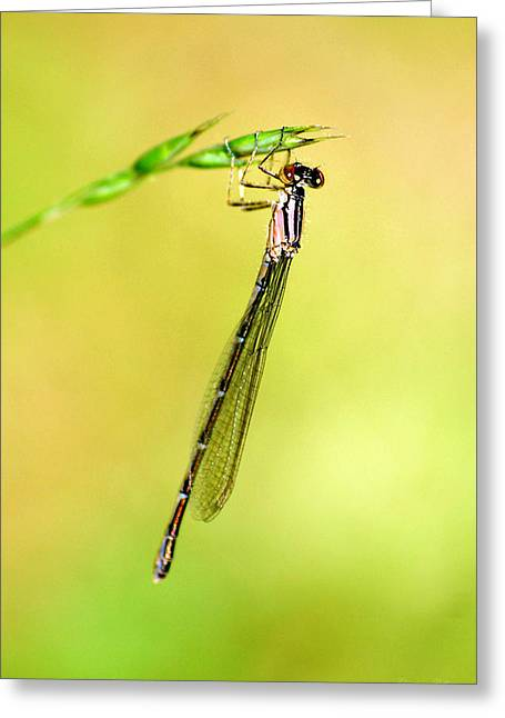 Damselfly Greeting Card by Christina Rollo