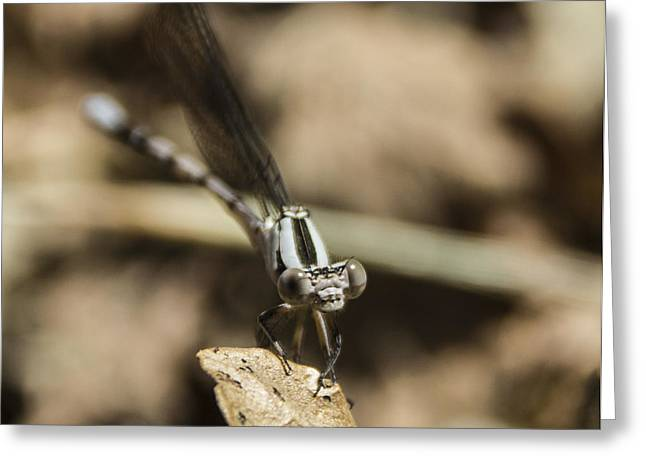 Damselfly Greeting Cards - Damselfly Greeting Card by Kevin Lee-Cerrino