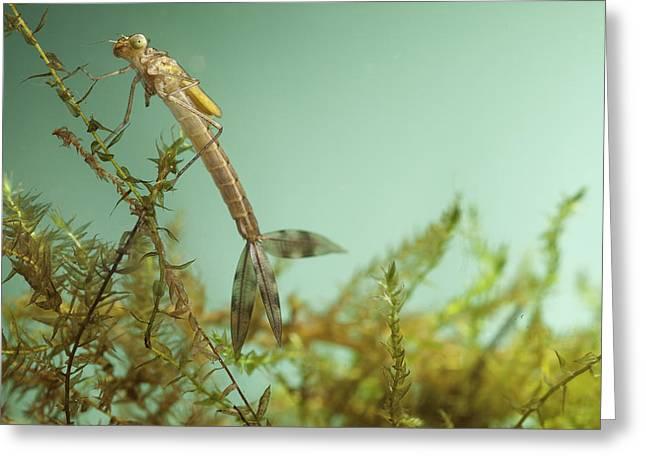 Invertebrates Greeting Cards - Damselfly Larvae Greeting Card by Dirk Ercken