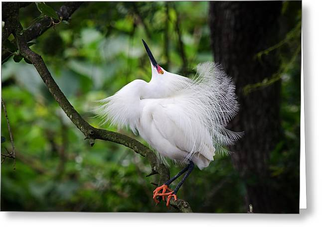 Snowy Egret Greeting Cards - Dance Moves Greeting Card by Benjamin DeHaven