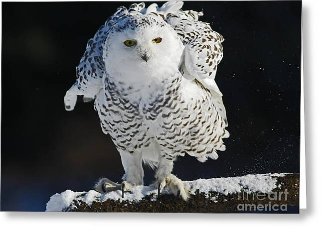 Dance Of Glory - Snowy Owl Greeting Card by Inspired Nature Photography Fine Art Photography