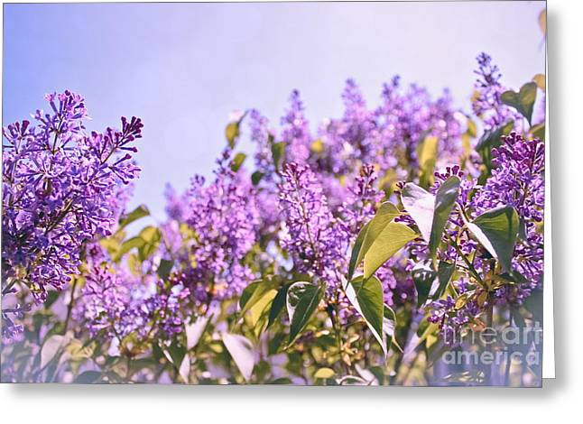 Soft Lilac Greeting Cards - Dance of the Lilacs Greeting Card by Colleen Kammerer
