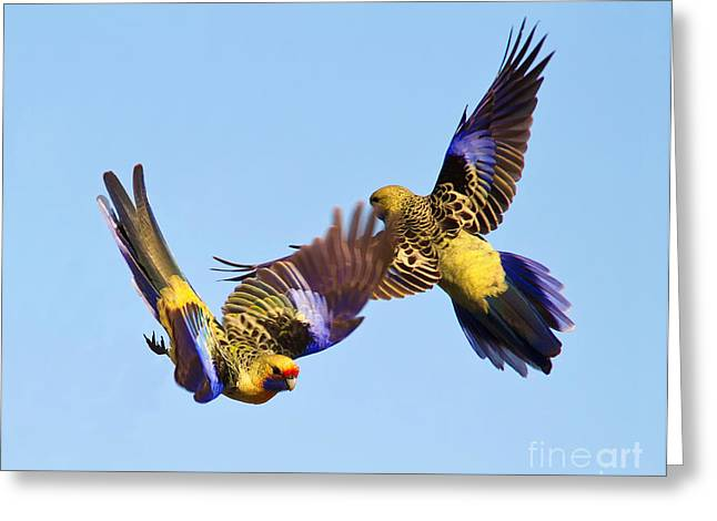 Aerials Greeting Cards - Dance of the Yellow Crimson Rosella Greeting Card by Bill  Robinson