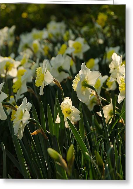 Spring Bulbs Greeting Cards - Dancing Daffodils Greeting Card by Maria Suhr