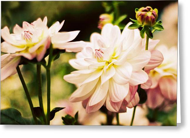Dancing Petals Greeting Cards - Dancing Dahlia Greeting Card by Jessica Jenney