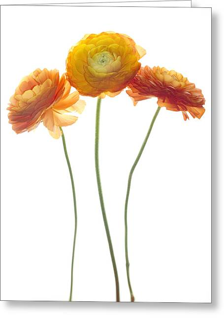 Ranunculus Greeting Cards - Dancing  Delicates Greeting Card by Rebecca Cozart