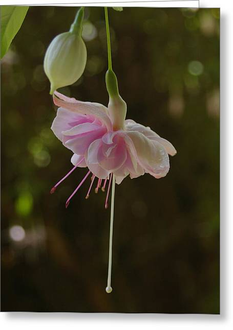 Fushia Greeting Cards - Dancing Fairy Fushia Greeting Card by Carol Jenks
