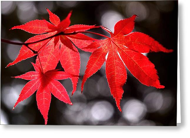 Tree Abstract Greeting Cards - Dancing Japanese Maple Greeting Card by Rona Black
