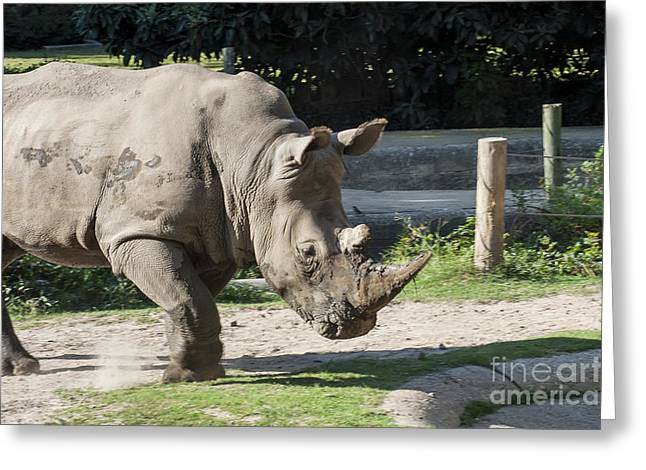 One Horned Rhino Greeting Cards - Dancing Rino Greeting Card by Bob Phillips