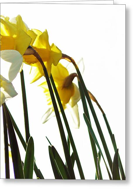 Dancing With The Daffodils Greeting Card by Pamela Patch