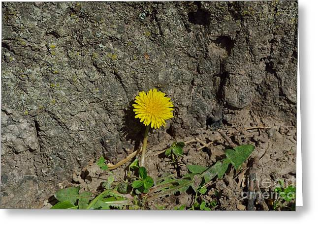 Indiana Flowers Greeting Cards - Dandelion 1 Greeting Card by Alys Caviness-Gober
