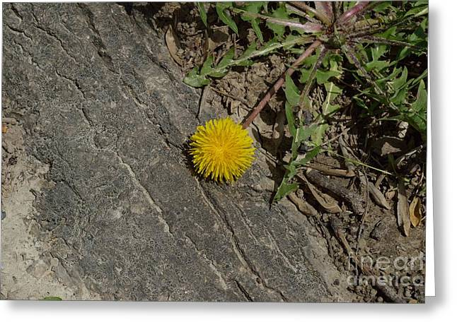 Indiana Flowers Greeting Cards - Dandelion 2 Greeting Card by Alys Caviness-Gober