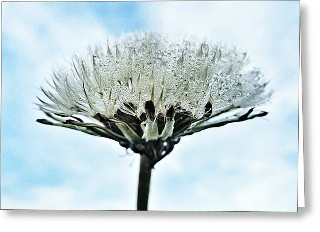 Raindrop Greeting Cards - Dandelion after Rain Greeting Card by Marianna Mills