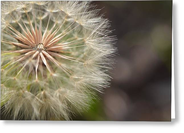 Macro Photography Greeting Cards - Dandelion Art - So It Begins - By Sharon Cummings Greeting Card by Sharon Cummings