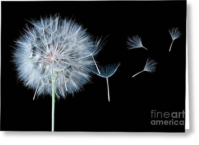 Dandelion Dreaming Greeting Card by Cindy Singleton