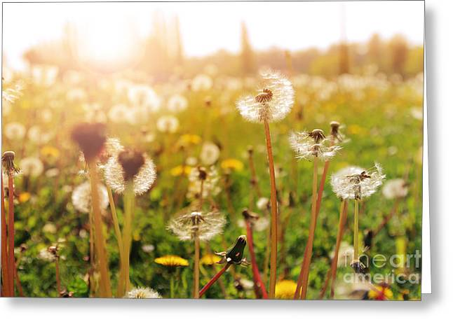 Close Focus Nature Scene Greeting Cards - Dandelion during sunset Greeting Card by Gregory DUBUS