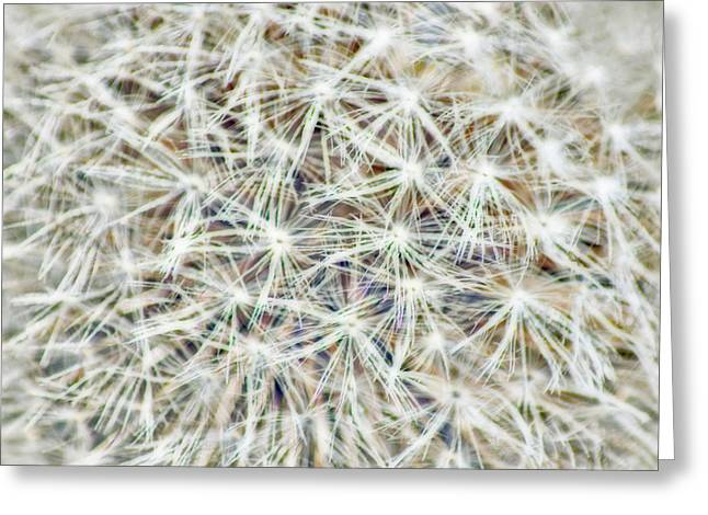 Parachute Ball Greeting Cards - Dandelion Floret  Greeting Card by Anita Braconnier