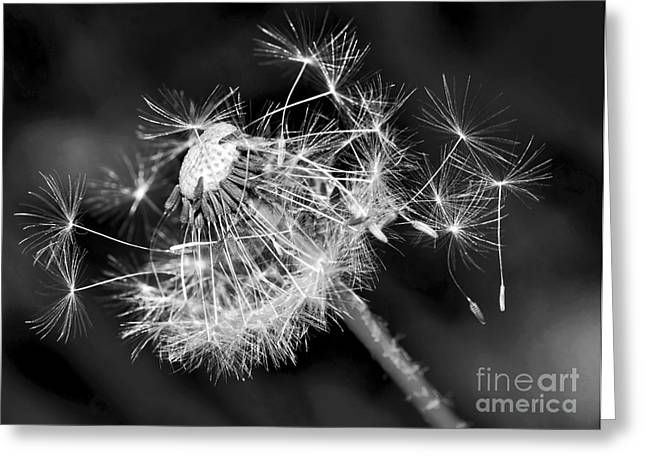 Sowing Greeting Cards - Dandelion Glow Greeting Card by Kaye Menner