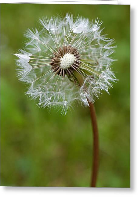 Chiara Greeting Cards - Dandelion Gone To Seed Greeting Card by Rocco Chiara