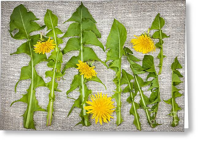 Woven Greeting Cards - Dandelion greens and flowers Greeting Card by Elena Elisseeva