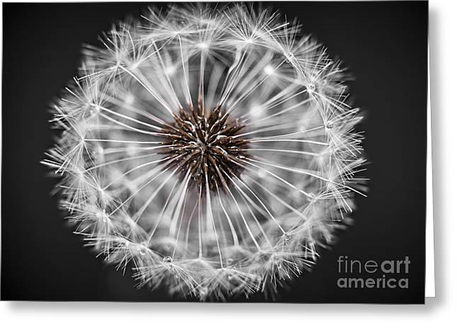 Dandelion Head Closeup Greeting Card by Elena Elisseeva