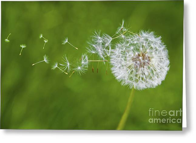 Blowing Greeting Cards - Dandelion in the Wind Greeting Card by Diane Diederich
