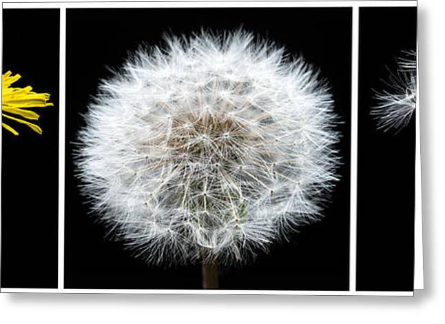Weed Greeting Cards - Dandelion Life Cycle Greeting Card by Steve Gadomski