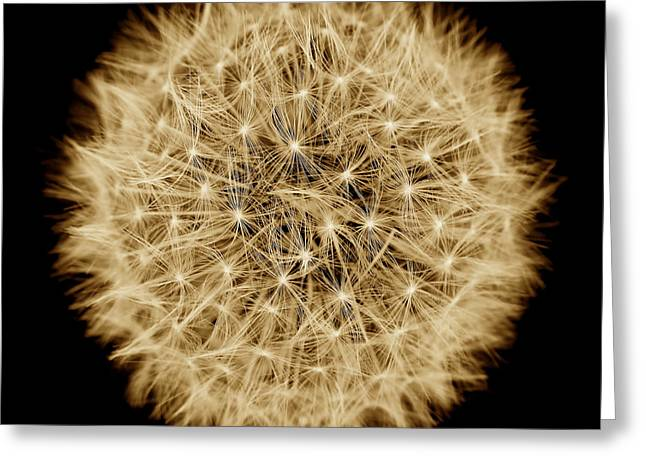 Light And Dark Greeting Cards - Dandelion Macro Abstract Sepia Brown Greeting Card by Jennie Marie Schell