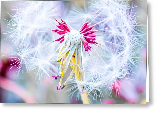 Pink Dandelion Greeting Card by Parker Cunningham