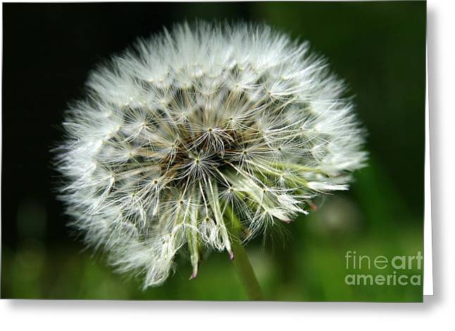 Neal Eslinger Photography Greeting Cards - Dandelion Ready Greeting Card by Neal  Eslinger