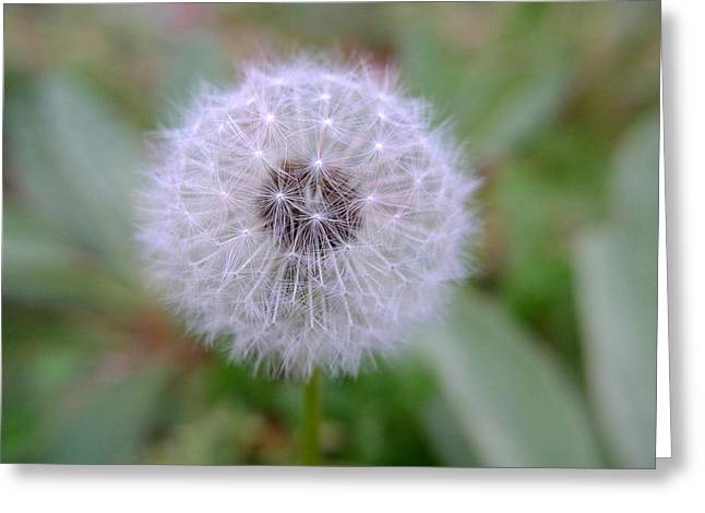 Asexual Greeting Cards - Dandelion Greeting Card by Richard Reeve