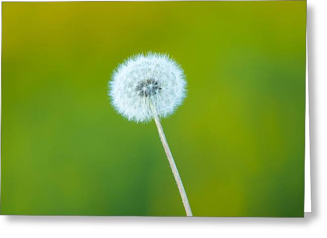 Prairies Greeting Cards - Dandelion Greeting Card by Sebastian Musial