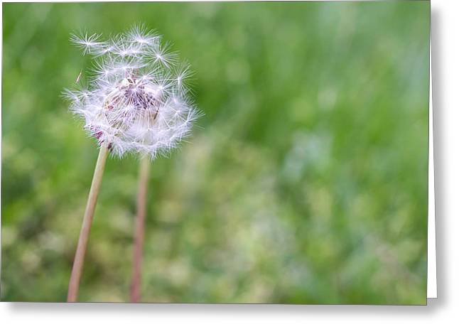 Biological Greeting Cards - Dandelion Seed Ball Greeting Card by James Drake