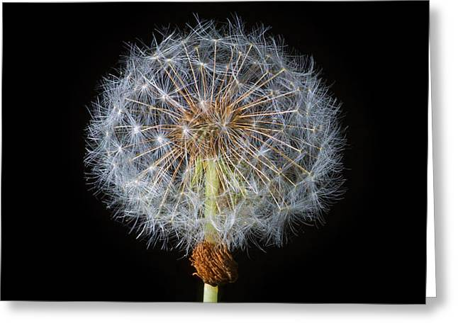 Parachute Ball Greeting Cards - Dandelion Seed Ball Greeting Card by Jens Lambert