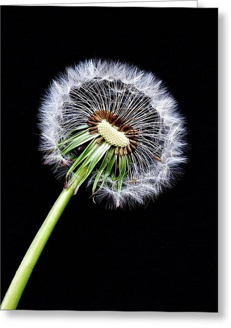 Dandelion Seed Head Greeting Card by Dirk Wiersma