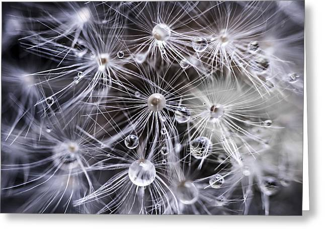 Droplet Greeting Cards - Dandelion seeds with water drops Greeting Card by Elena Elisseeva