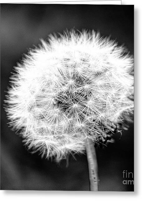 Light And Dark Photographs Greeting Cards - Dandelion Square Portrait in Black and White Greeting Card by Emily Enz