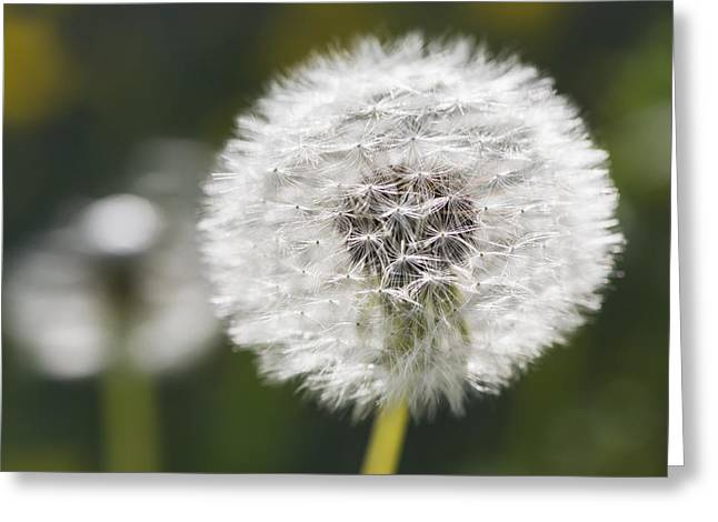 Close Focus Nature Scene Greeting Cards - Dandelion _taraxacum Officinale__ Black Greeting Card by Carl Bruemmer