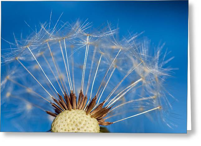 Colorful Dandelions Greeting Cards - Dandelion - Vancouver Greeting Card by May L